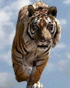 .  Photography by © (Mike Seamons). Tiger in the clouds at the WHF, Big Cat Sanctuary. #Wildlide #Tiger #WHF