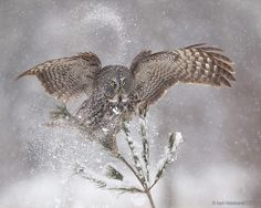 Great Gray Owl in snow; wildlife photography by Axel Hildebrandt.