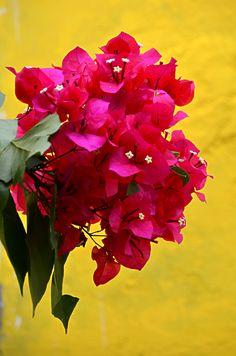 My sweet garden - Buquê de Bougainvillea rosa, trepadeira nativa da América do Sul, que colore lindamente o jardim.