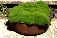 Scleranthus biflorus, aka knawel. A good, lumpy substitute for moss in drier conditions.