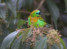 SAIRA-LAGARTA ( Tangara desmaresti), via Flickr.