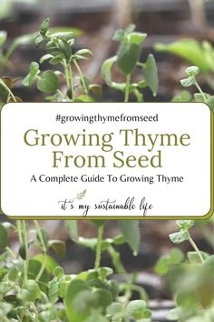 Growing thyme from seed saves money and is easy to grow in garden beds, containers and window sills. | It's My Sustainable Life @itsmysustainablelife #growingthymefromseed #growingthymeindoors #growingherbs #growingherbsindoors #growingherbsinpots #growingherbsfromseed #growingherbsfromseedindoors #itsmysustainablelife Growing Herbs In Pots, Growing Vegetables, Herb Garden In Kitchen, Kitchen Gardening, Gardening For Beginners, Gardening Tips, Organic Gardening, Vegetable Gardening, Starting Seeds Indoors