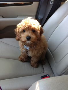 Toby the cavapoo #cavapoo