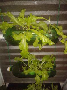 Ecotrecos: Plantando alface em vaso, jardineira ou garrafa PET na varanda