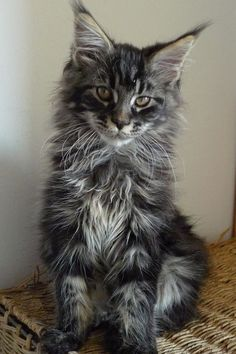 Maine Coon Kittens For Sale Los Angeles Maine Coon Demeanor Chat Maine Coon, Maine Coon Kittens, Cool Cat Trees, Cool Cats, Pretty Cats, Beautiful Cats, Kittens Cutest, Cats And Kittens, Ragdoll Kittens