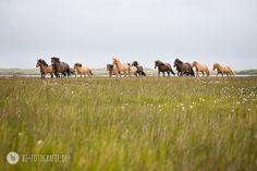 Kunstdruck Islandpferde-Herde FineArt Print Icelandic Herd