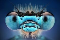 Dusan Beno does amazing macro photos of insects, this is a blue damselfly. Micro Photography, Insect Photography, Animal Photography, Photography Photos, Levitation Photography, Exposure Photography, Water Photography, Abstract Photography, Cool Insects
