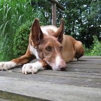 #dogalize Razze di cani: il cane dei Faraoni, carattere e caratteristiche #dogs #cats #pets