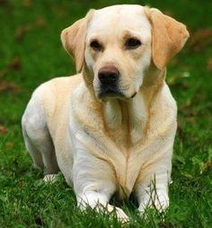 labrador-perros-labradores.jpg