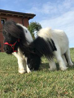 Albano & Romina #minishetland #pony #horses #miniaturehorse Mini Shetland, Goats, Pony, Horses, Animals, Pony Horse, Animales, Animaux, Ponies
