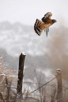 Harrier Hawk in Snow by Troy Snow on Flickr.