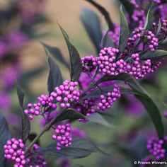 There are many types of berries. This post shares eight berry producing shrubs that are great in the garden and also work very well in floral arranging. Garden Shrubs, Flowering Shrubs, Trees And Shrubs, Garden Plants, Sun Garden, Terrace Garden, Outdoor Plants, Vegetable Garden, Outdoor Spaces