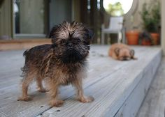 black and tan brussels griffon - Google Search