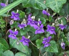 Violets are used to treat eczema, coughs, skin conditions and toothaches. Clinically, Violets have been made into special preparations and used to help lung and chest difficulties, due to their expectorant properties.