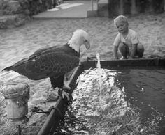 A Bald Eagle's bath in 1949 California.