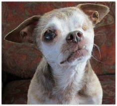 Harley's Dream is the story of one tiny little senior dog who inspired a movement. A one-eyed puppy mill survivor who left us all too soon, but who inspired others to strive for hope and chan…