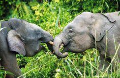 Am Fluss Kinabatangan leben noch fast 350 Zwergelefanten. Malaysias Regierung will jetzt durch das Schutzgebiet eine Brücke bauen und eine bestehende Schotterpiste asphaltieren. Dadurch wird der Lebensraum der Tiere zerschnitten. Zum Schutz der Elefanten darf das Projekt nicht verwirklicht werden.