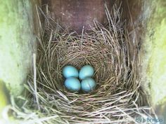 Good site for identifying bird nests and eggs