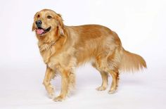 When it comes to the perfect family dog, it's hard to go wrong with a Golden Retriever. First bred for hunting, the Golden Retriever has made a natural progression into a wonderful family pet. Obedient, good-natured, intelligent, eager to please and eager to learn, the Golden Retriever is also known for its friskiness – you'll [...]