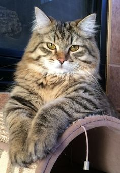 Zeus - 1 year old Siberian Forest Cat and like OMG! get some yourself some pawtastic adorable cat apparel! Cute Cats And Kittens, Cool Cats, Kittens Cutest, Funny Kittens, White Kittens, Black Cats, Siberian Forest Cat, Siberian Cat, Pretty Cats