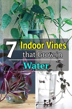 Pothos In Water, Water Plants Indoor, Plants Grown In Water, Indoor Trees, Indoor Flowers, Planting Succulents, Garden Plants, House Plants, Indore Plants