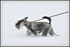 A Headstrong Little Girl by Mike #Miniature #Schnauzer