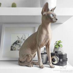 Likes, 23 Kommentare – Odessa & Azizi▫️Sphynx Katzen ( … - Animals Animals And Pets, Baby Animals, Cute Animals, Cute Hairless Cat, Sphinx Cat, Gatos Cats, Cat Aesthetic, Beautiful Cats, Cat Breeds