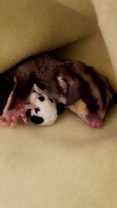 Sleepy baby...... Izzy asleep with her teddy bear..... sugar glider