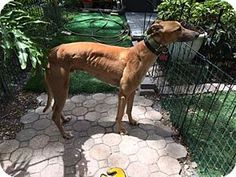 North Port, FL - Greyhound. Meet DuRon Kappa, a dog for adoption. http://www.adoptapet.com/pet/17963338-north-port-florida-greyhound