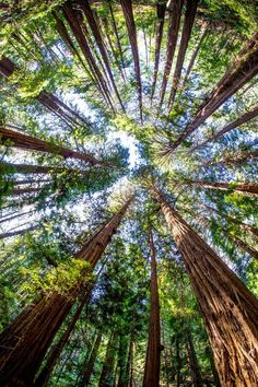 Amazing trees at Muir Woods National Monument California USA