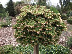 Sortiment Edwin Smits Conifers Abies balsamea 'W.B. 94018'