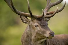 CONSERVATION NEWS ALERT: With only 218 individuals left in the wild, the Kashmir stag--a subspecies of red dear--is on the verge of extinction.