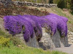 Aubrieta Seeds - Cascade Purple - Deer Resistant Superb perennial ground cover,dry banks, between flagstones, along pathways.Rock Cress plants are covered in stunning spring flowers. Rock Cress is a Rock Cress plants are covered in stunning spring. Flower Landscape, Garden Shrubs, Cress Plant, Ground Cover Plants, Perennial Ground Cover, Perennials, Plants, Planting Flowers, Garden Edging