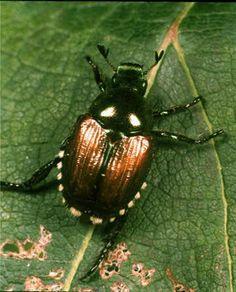 Résultats de recherche d'images pour «scarabée japonais»