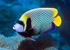 Salt water fish Emperor Angel Fish Sealife #LIFECommunity #Favorites From Pin Board #17