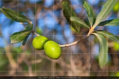 Olive tree with two olives in a branch with leaves in andalusia spain