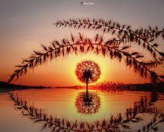 Karahindiba Çiçeği Yansıma! - Dandelion Taraxacum Flower TReflection... Eye of Sauron ;)