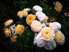 "Rosier ""Grace"", Austin. Floral Wreath, Backyard, Wreaths, Flowers, Plants, Gardens, Rose Trees, Flower Crowns, Yard"