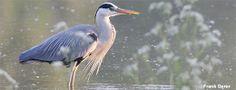 NABU | Stunde der Gartenvögel | Vögel bestimmen | Wasservögel im Park