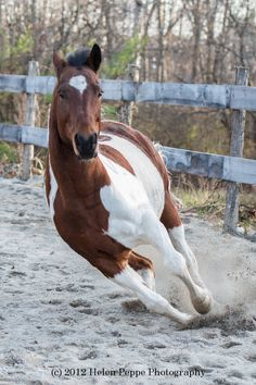 Beautiful Pinto or Paint horse galloping. - by Helen Peppe - Horse Breed