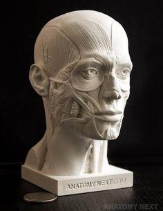 Male Ecorche Human Anatomy Reference Face Anatomy