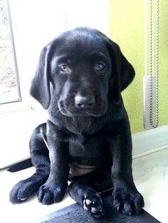 Labrador-Retriever Pup ~ Classic Look