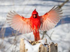 Photographic Print: Male Northern Cardinal in Flight (Winter), Landing on a Snow-Covered Stump to Feed on Seed a Passer by Phil Lowe : Exotic Birds, Colorful Birds, Common Birds, Northern Cardinal, Most Beautiful Birds, State Birds, Cardinal Birds, All Birds, Angry Birds
