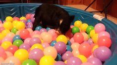 Parece mentira lo que disfrutan la mayoría de animales en una piscina de bolas