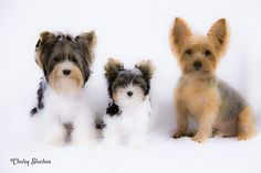 The 3 Yorkie Amigos! by Cheley #animals #animal #pet #pets #animales #animallovers #photooftheday #amazing #picoftheday