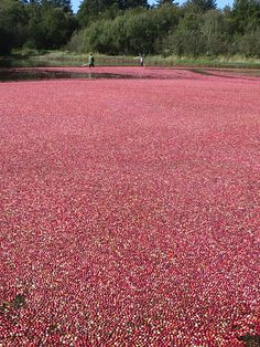 Gathering cranberries on Long Beach Peninsula in Washington state.