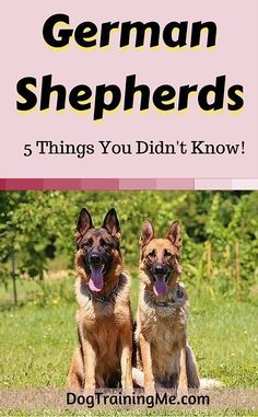 German Shepherd breeds: everything you need to know and more! They're amazing, but you already know that. Find out 5 little-known facts about GSDs and watch a rare video in this article!