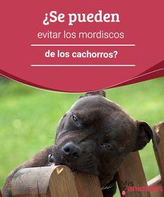 ¿Se pueden evitar los mordiscos de los cachorros? Los mordiscos de los cachorros son comportamientos molestos que si no se corrigen a tiempo pueden ocasionar daños severos. Aquí te enseñamos cómo evitarlos. #morder #cachorros #consejos