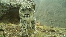 More Snow Leopards Poached, Even as Bold Plan Fights Decline           On the eve of International Snow Leopard Day, there's good news and bad news for the secretive big cats of Central Asia.