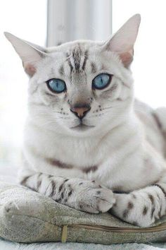 Egyptian Mau: The distinction of being the oldest cat breeds. Ancient paintings, pictures and sculptures have depicted the spotted cats that date back to the Egyptian era when cats were regarded as sacred. Pretty Cats, Beautiful Cats, Animals Beautiful, Cute Animals, Pretty Kitty, Gorgeous Eyes, Hello Beautiful, Beautiful Creatures, Kittens Cutest